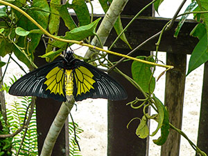 The golden birdwing ( Troides platinii) is breeding in the garden.