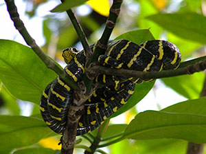 Mangrove snakes can be seen in the branches overhanging the water